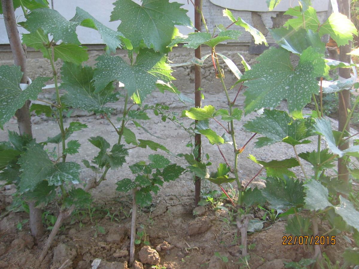 Чебуки посаженые в октябре прошлого года прямо в грунт.