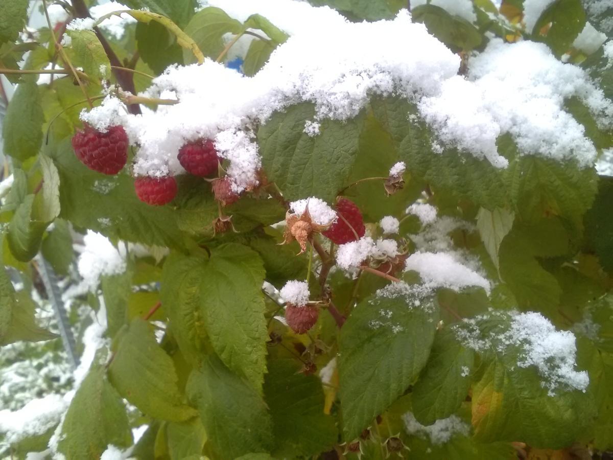 Малина на снегу картинки