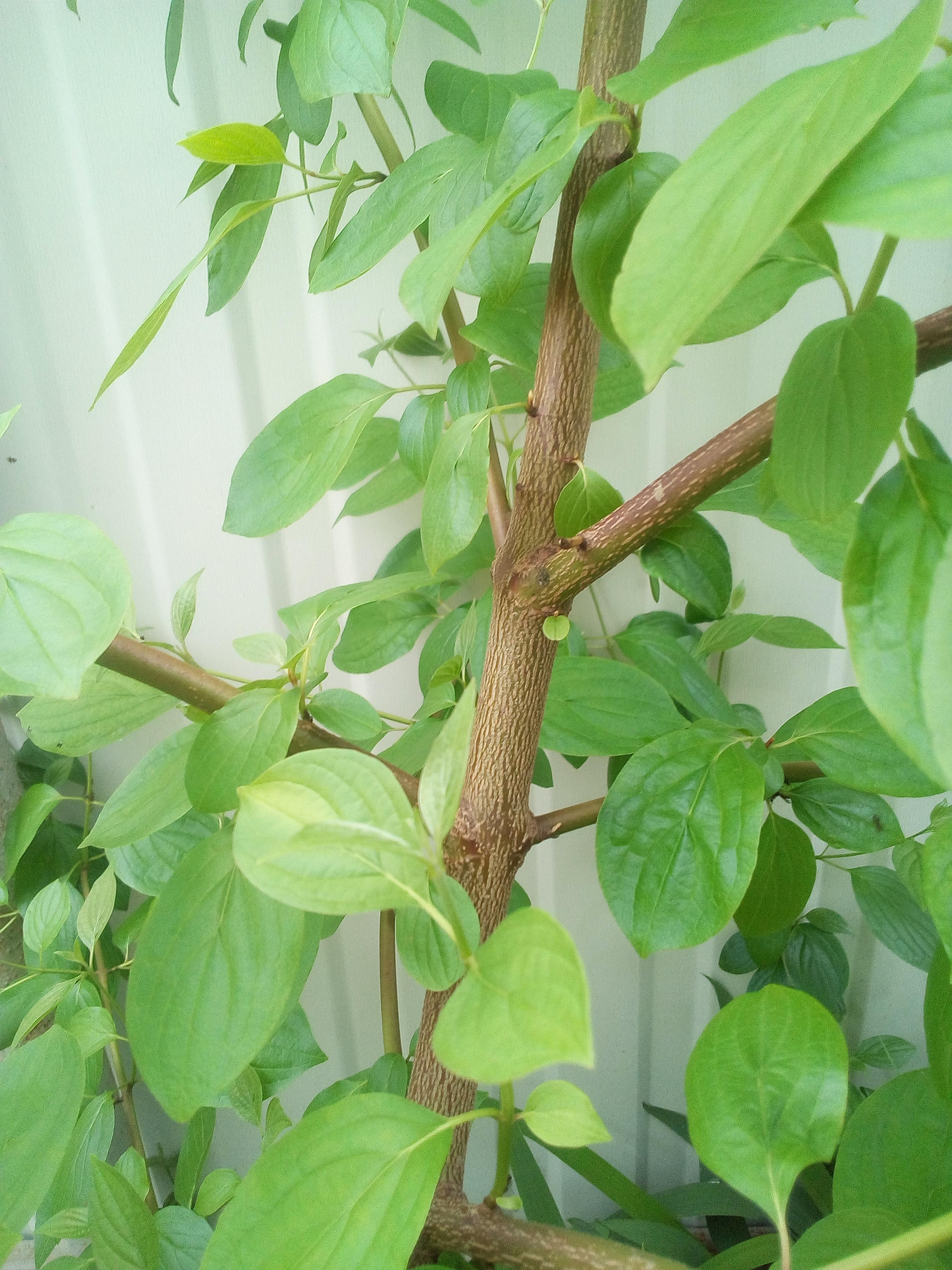 Дерево, с шершавшими листочками