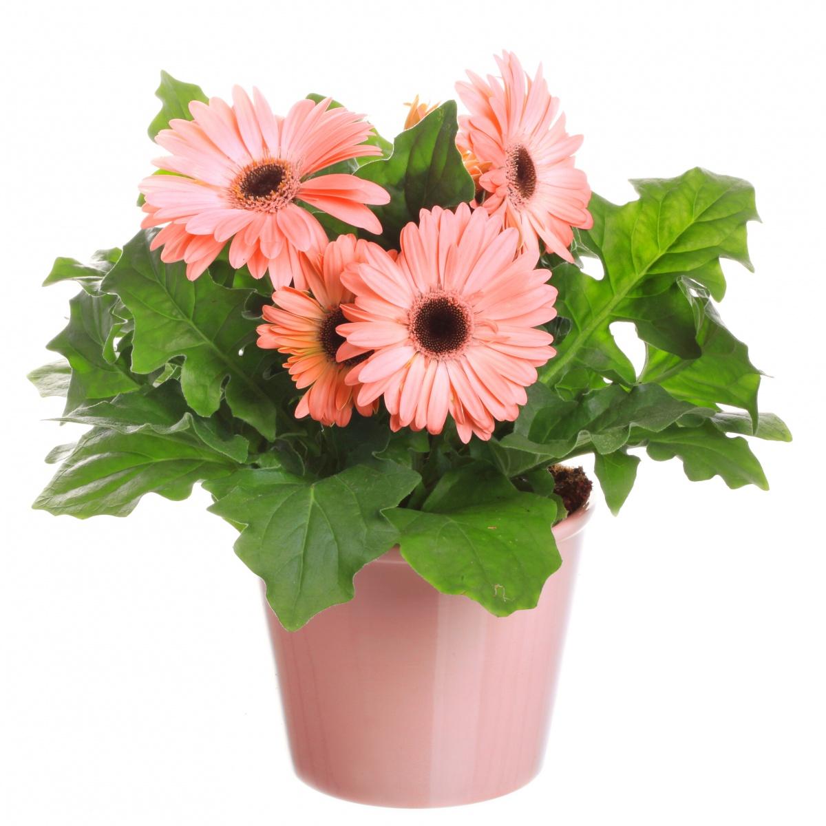 Цветы в горшке-фото