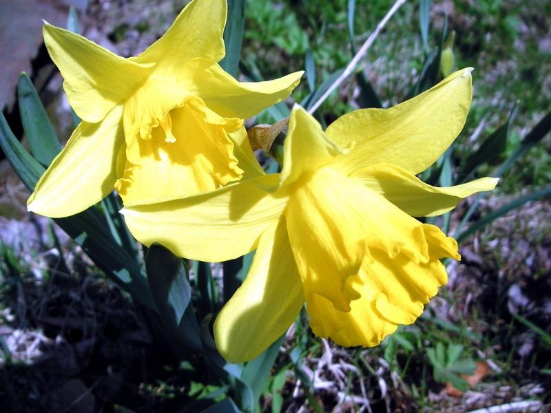 Нарцисс трубчатый желтый.