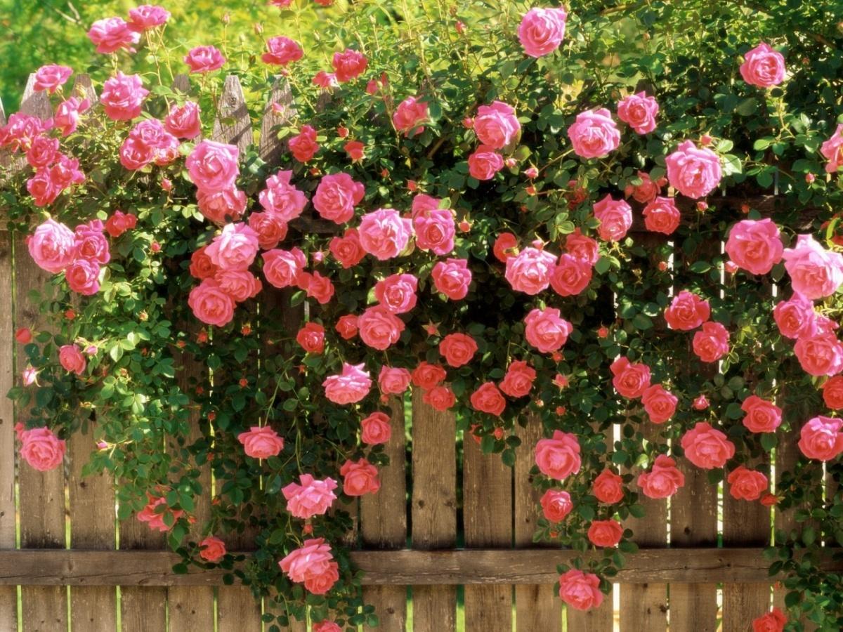 Как выбрать плетистую розу 6