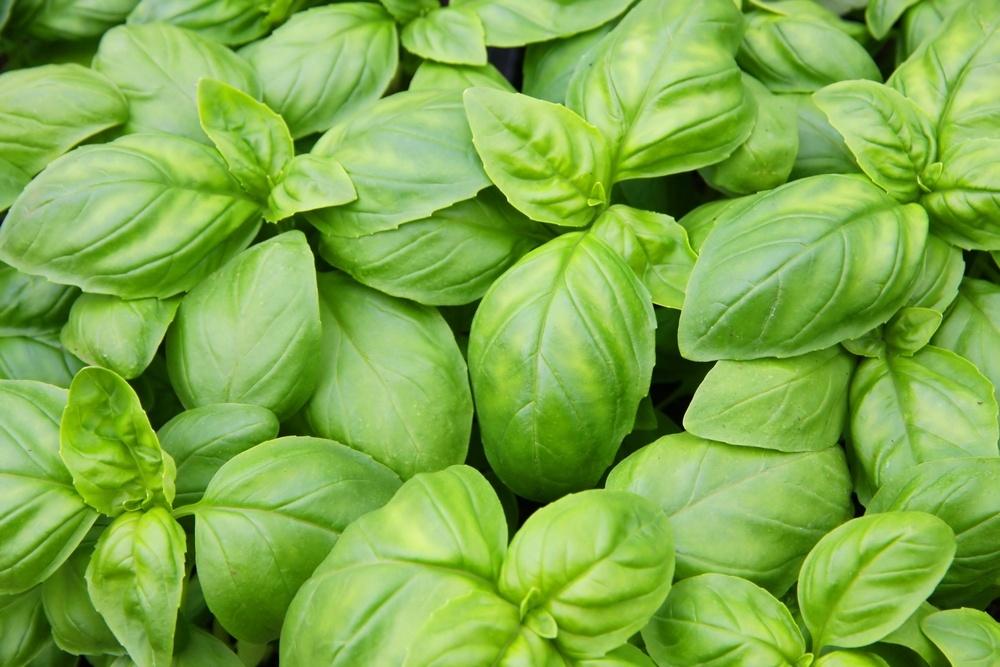 Растения-отпугиватели тли
