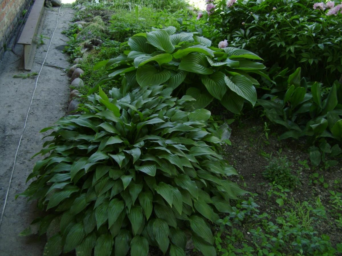 Цветок хоста (57 фото красота и аромат в вашем саду)