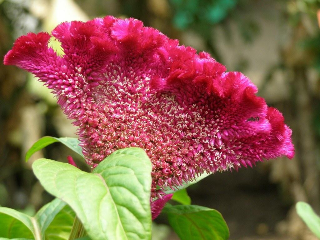 Цветок целозия фото и уход