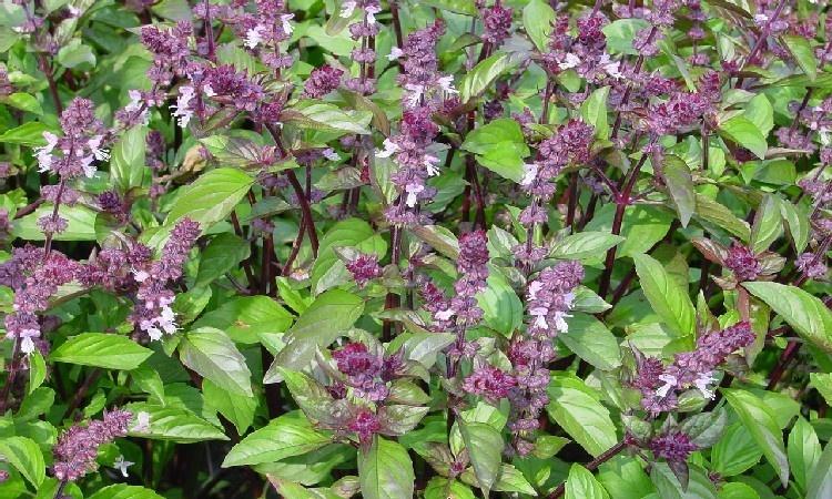 Сорняки с фиолетовыми цветами 165