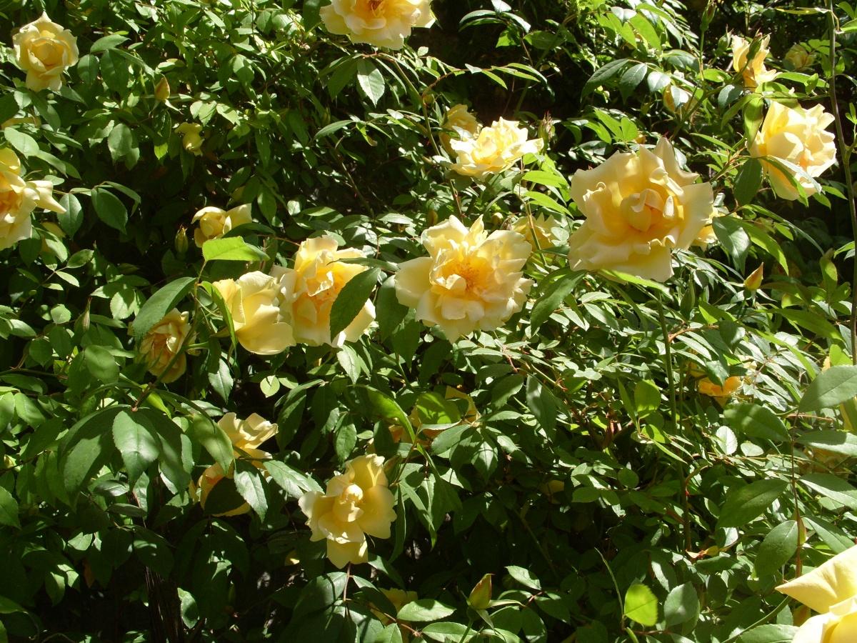 Самые красивые плетистые розы 1