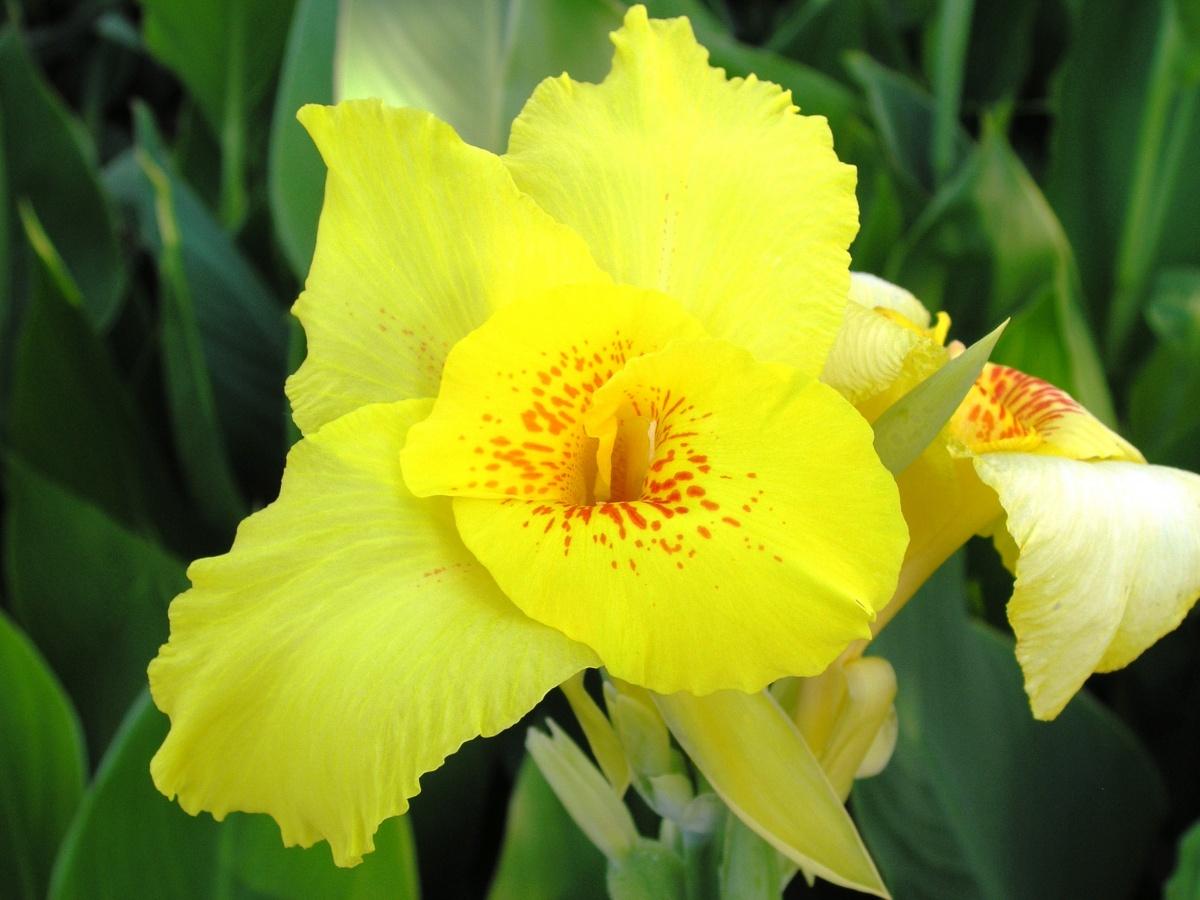 Канны - цветы хорошего настроения - Комнатные