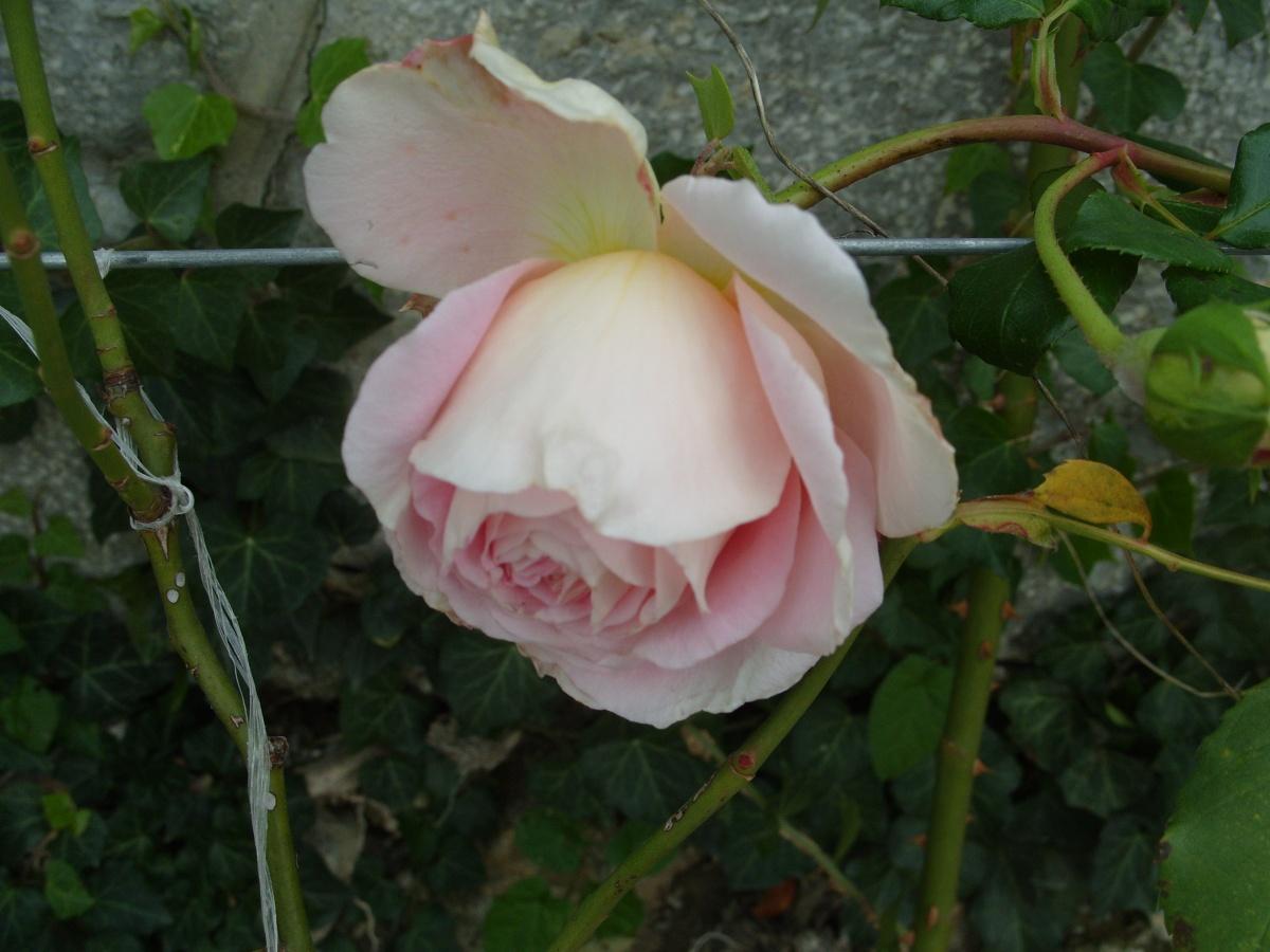 Роза плетистая paul scarlet 6