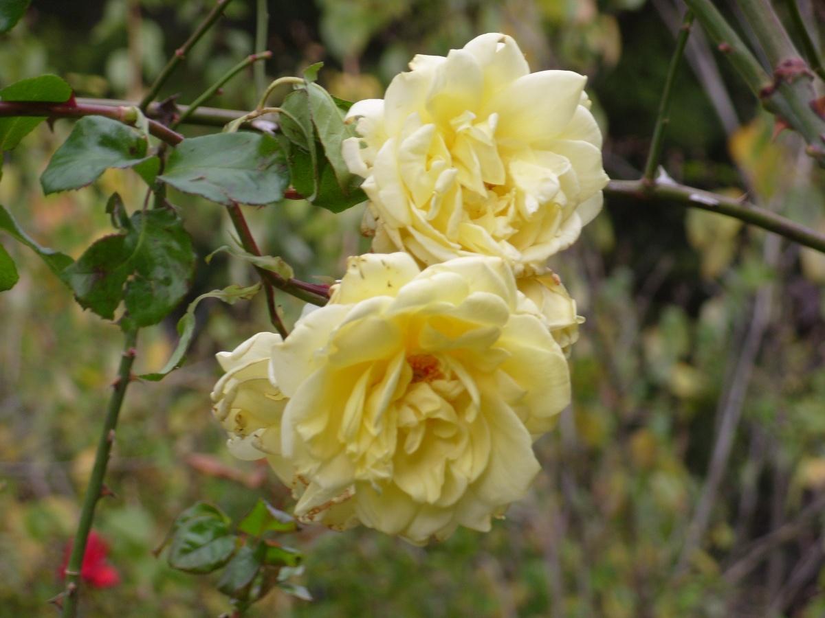 Роза плетистая пауль скарлет климбер 5