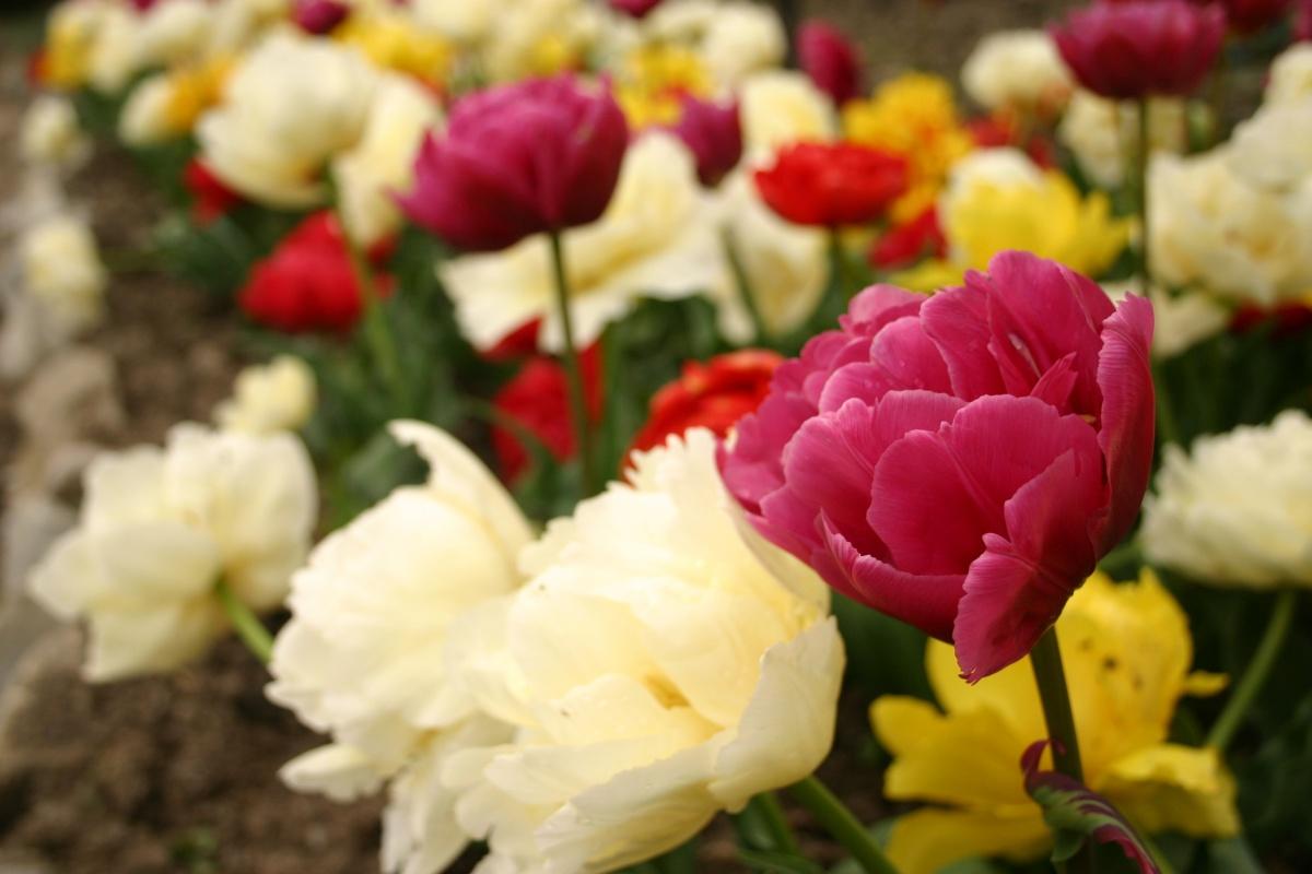 Цветут Махровые Ранние тюльпаны
