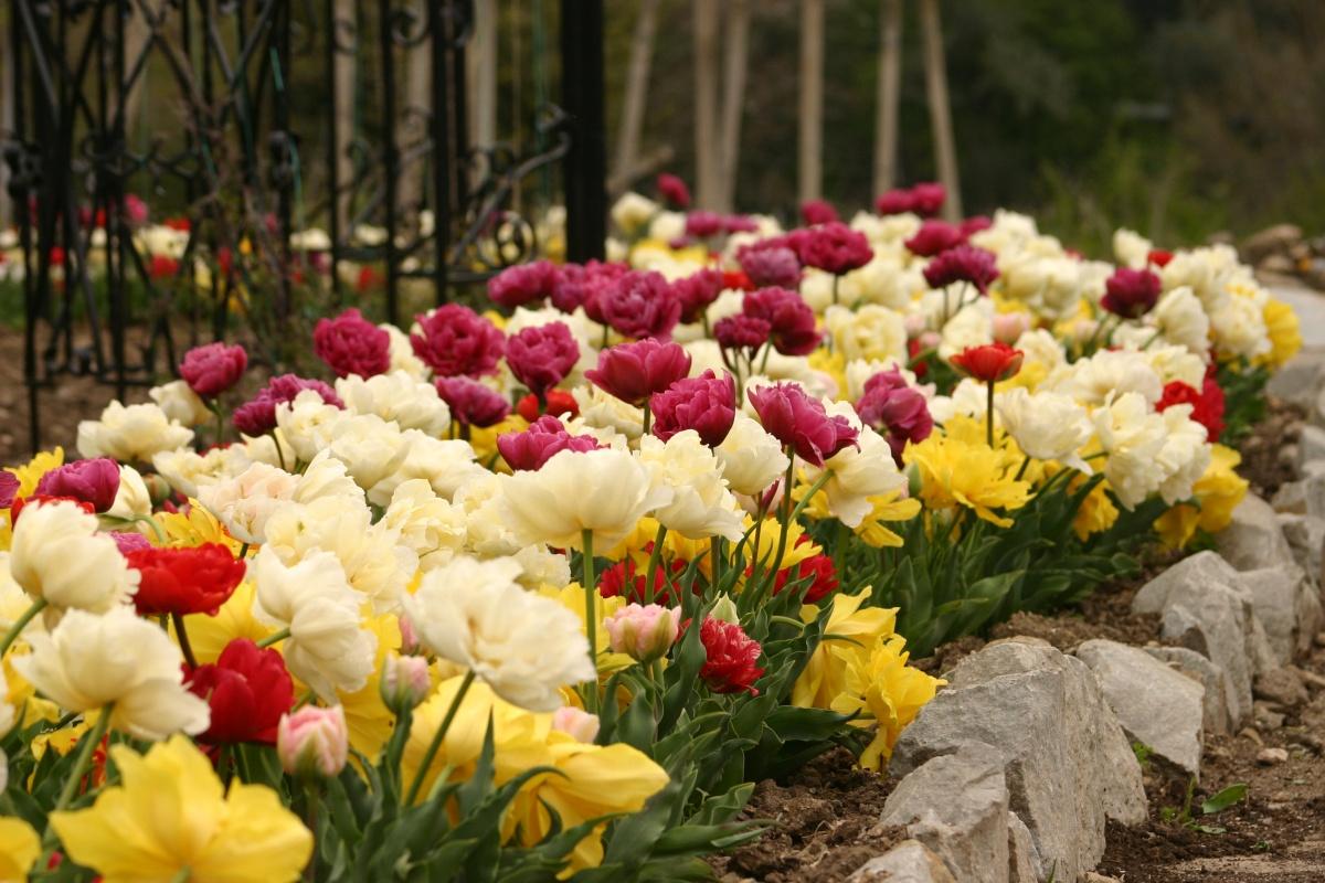 Бордюр их Махровых Ранних тюльпанов