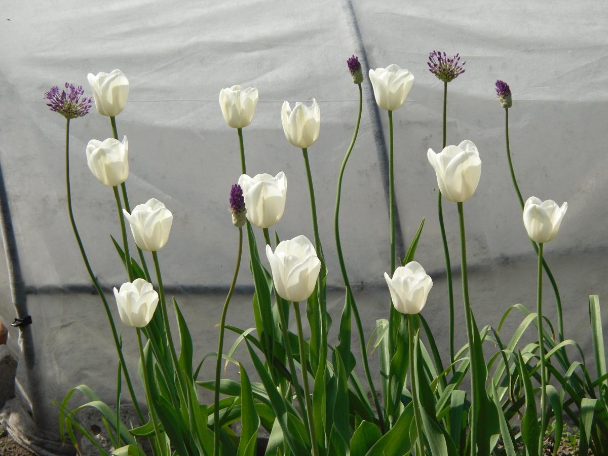 Клумбы посадка тюльпанов
