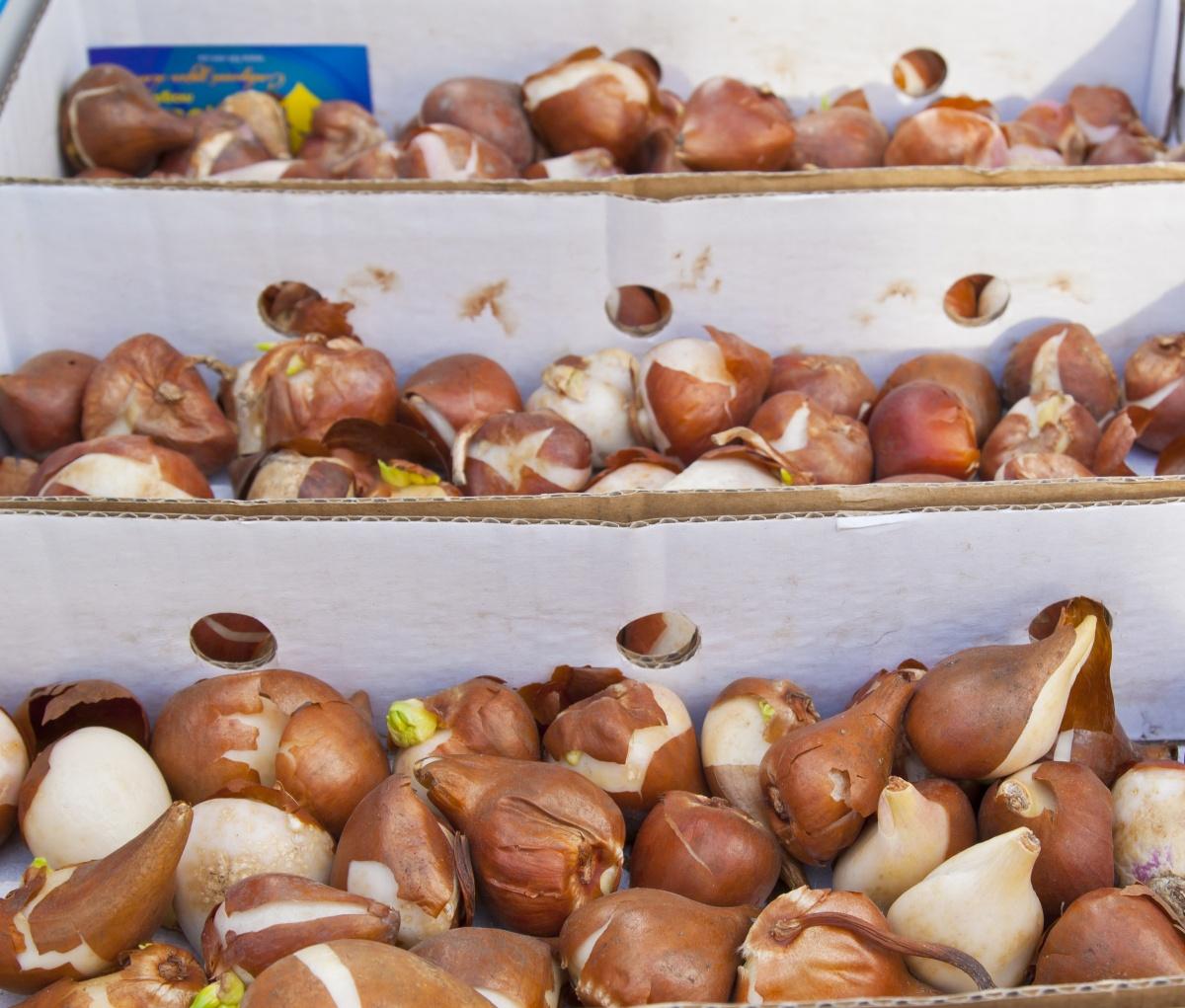 Гладиолусы выращивание хранение луковиц 92