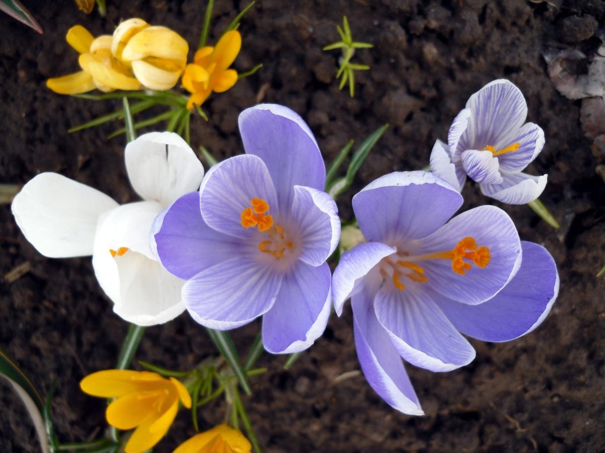 ранние весенние садовые цветы фото многочисленный