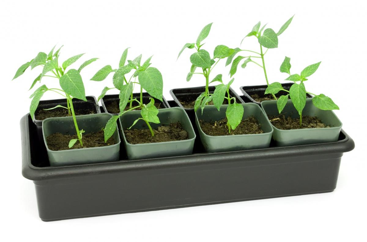 Многое зависит от правильного выращивания рассады