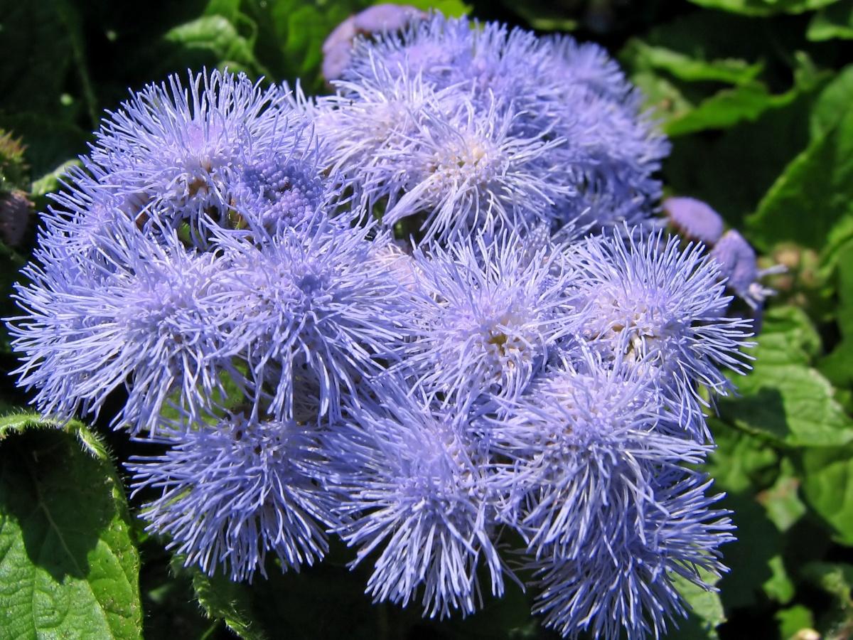 цветы фото агератум