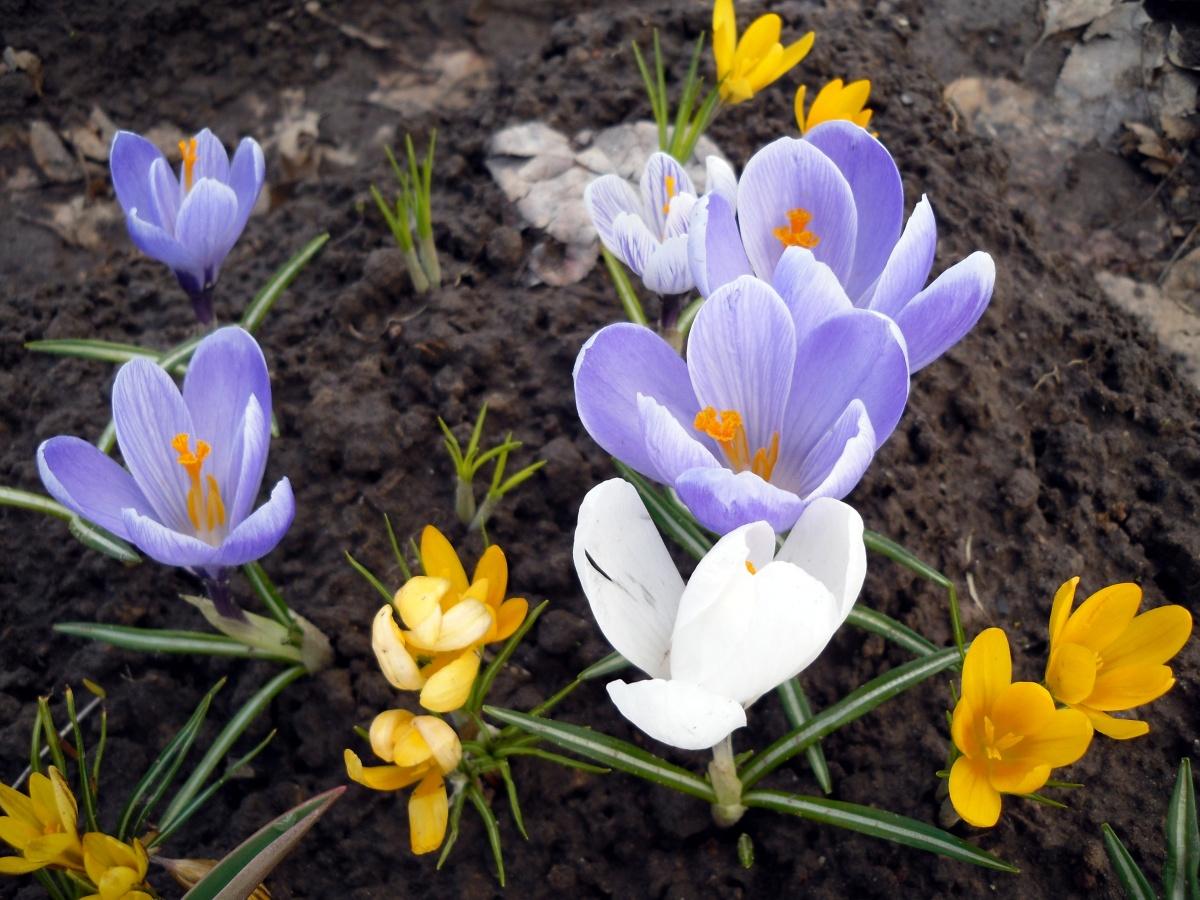 Крокусы разных видов в весеннем цветнике