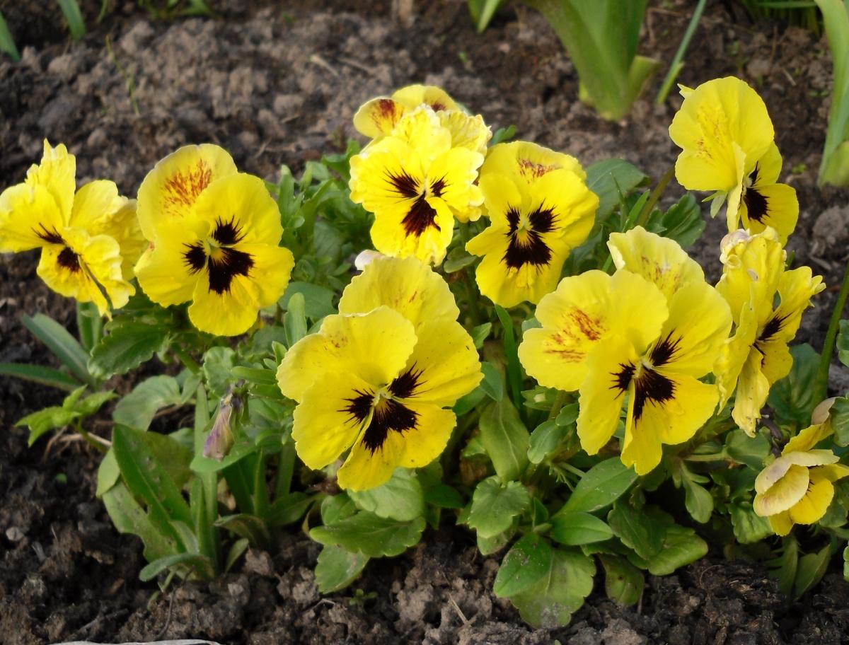 Комнатный цветок, цветущий круглый 80