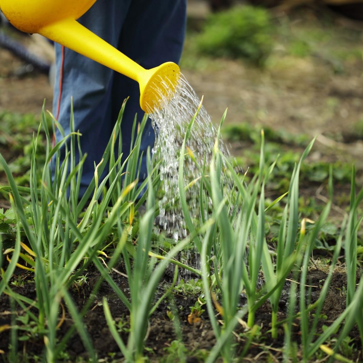 При поливе лука и чеснока слишком усердствовать не стоит