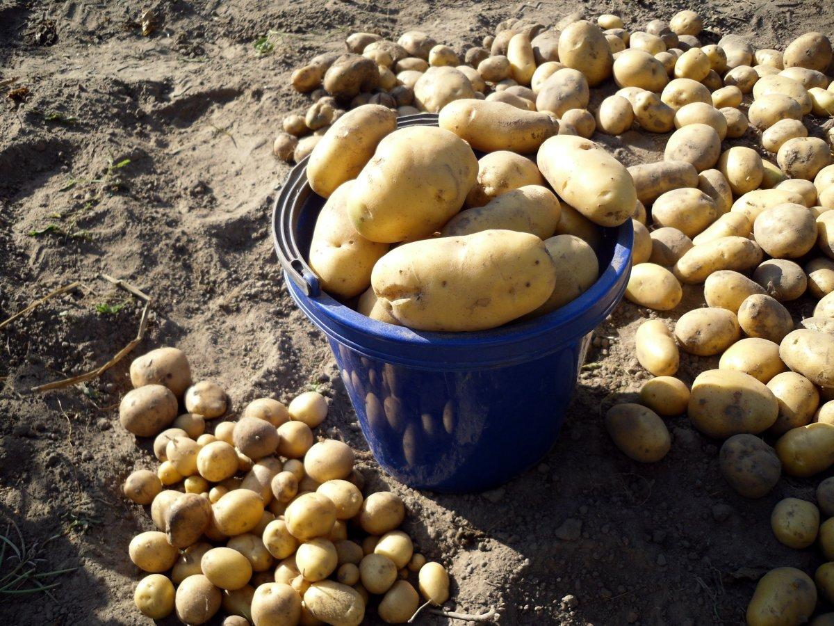 сон собирать в мешок картошку приобретения