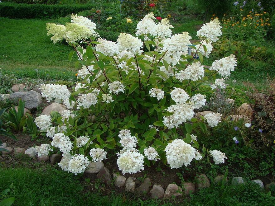 Цветы гортензия посадка и уход садовая