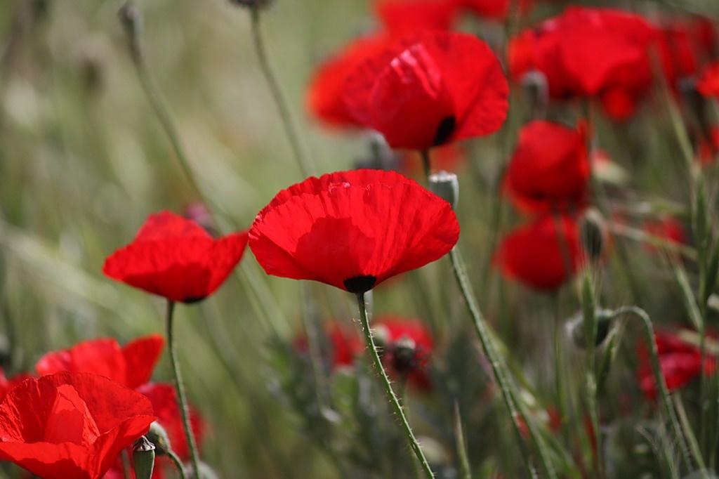 Традиции цветок мака