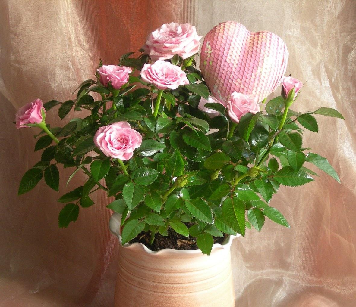 горшечные розы к 8 марта