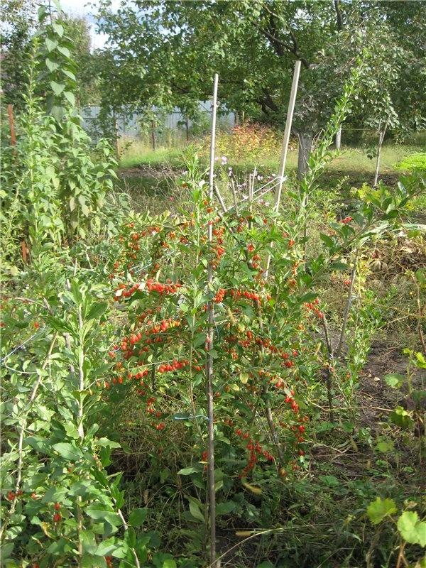 ягода годжи в саду