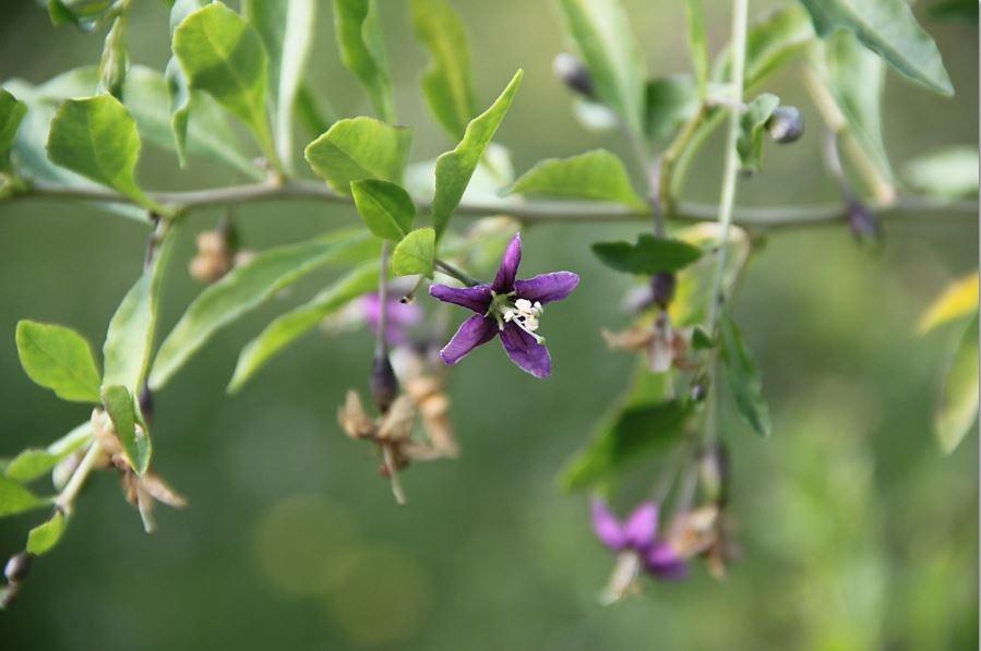цветки дерезы обыкновенной(годжи)