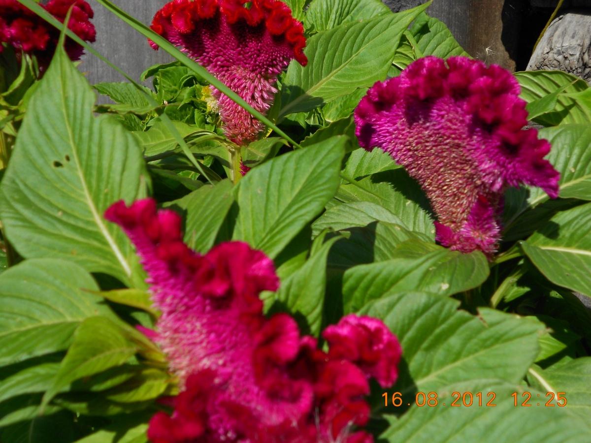 Цветок петушиный гребешок фото