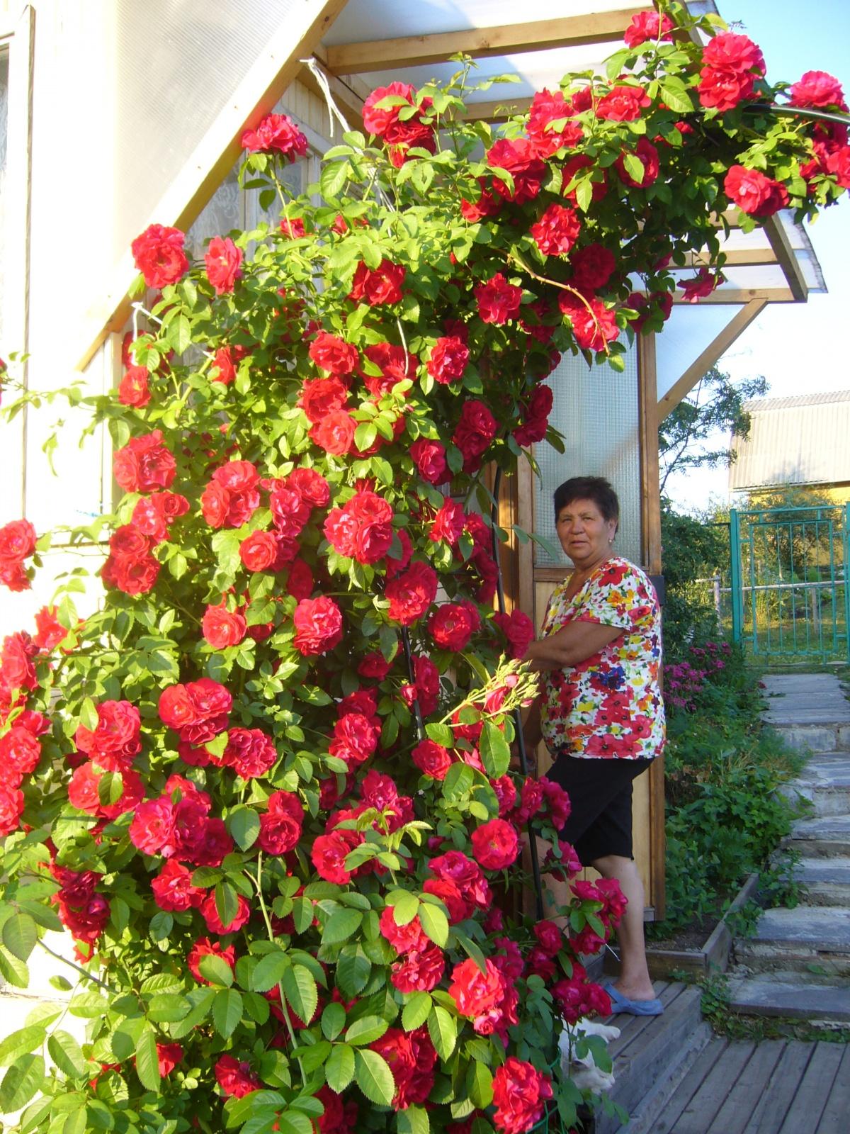 Плетистая роза купить в минске
