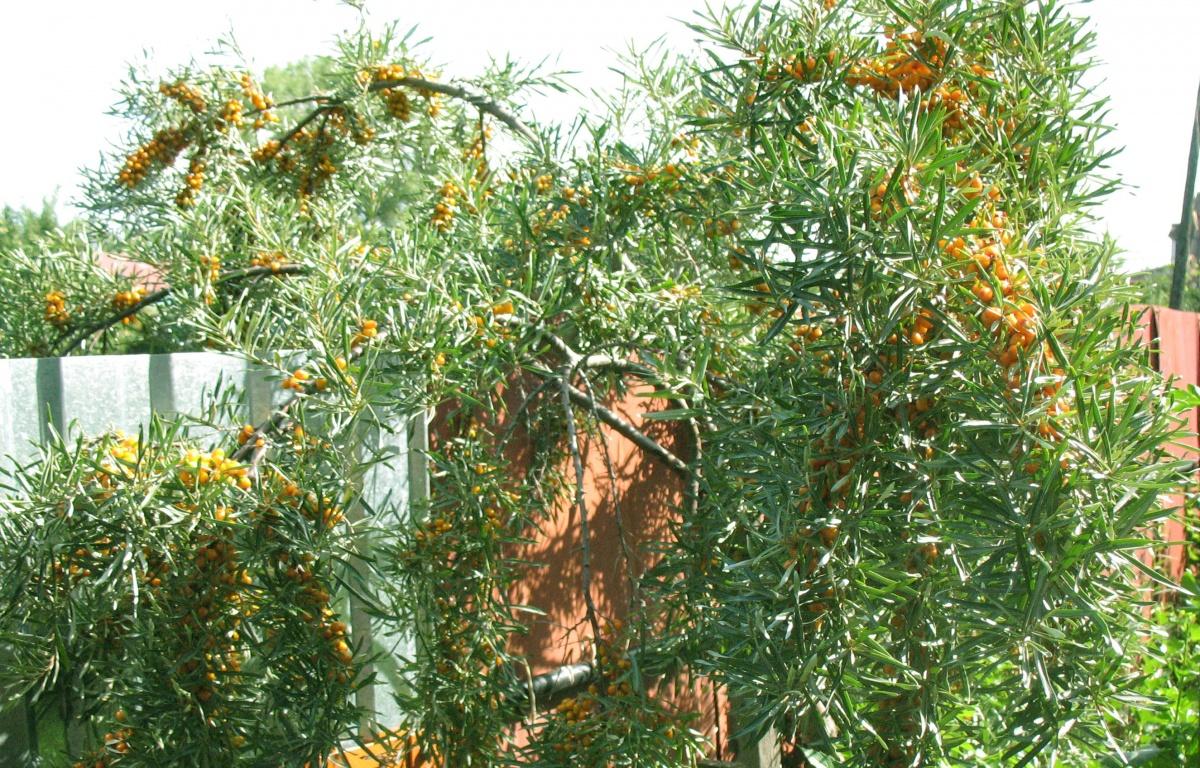 облепиха дерево