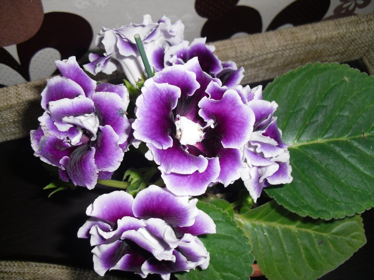 Узнать цветок по фото мохнатый колокольчик