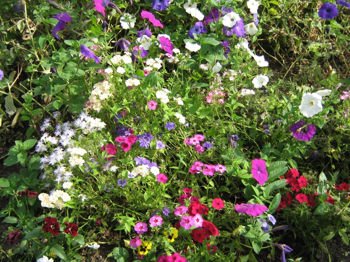 Однолетние флоксы - личный опыт выращивания, красивая 68