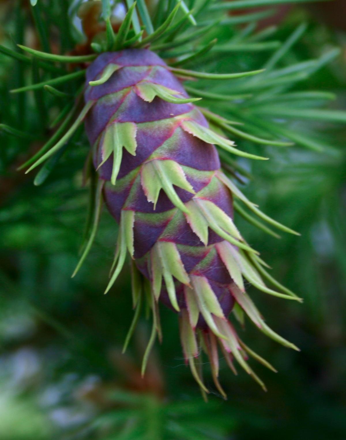 Пихта одноцветная Violaceae соответствует голландской тенденции садового дизайна