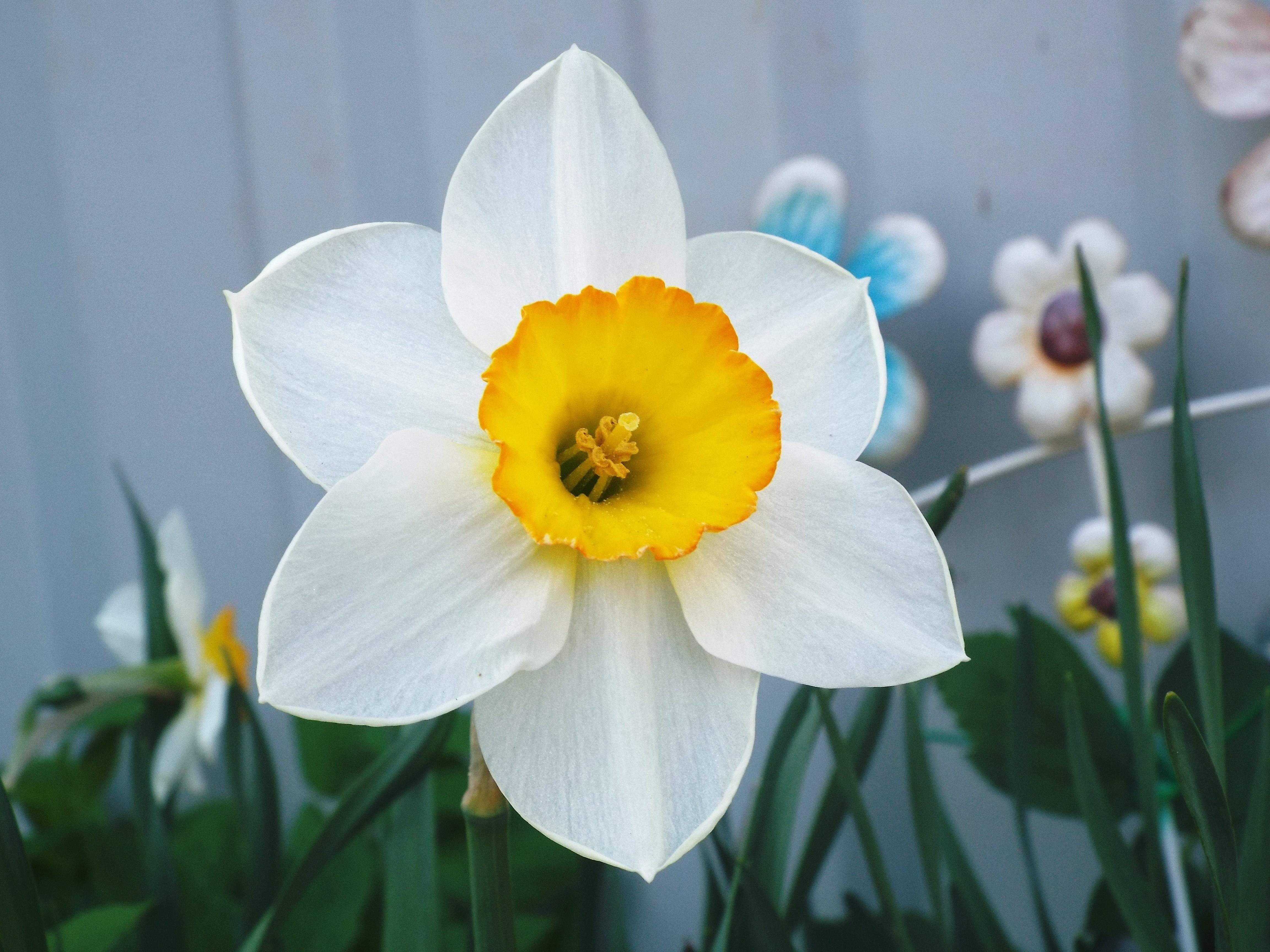 Домашний цветок как нарцисс фото