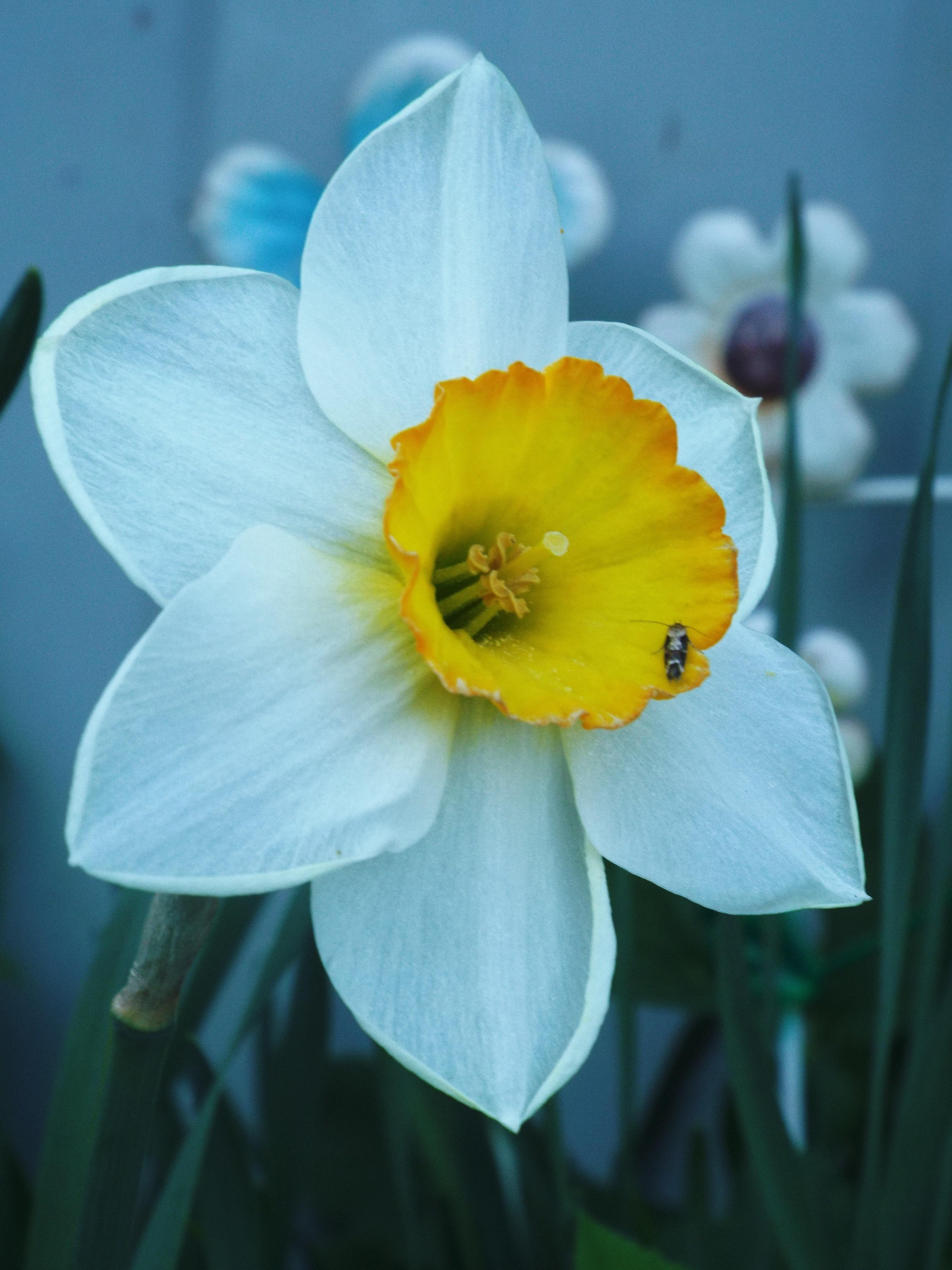 Картинки цветка нарцисса