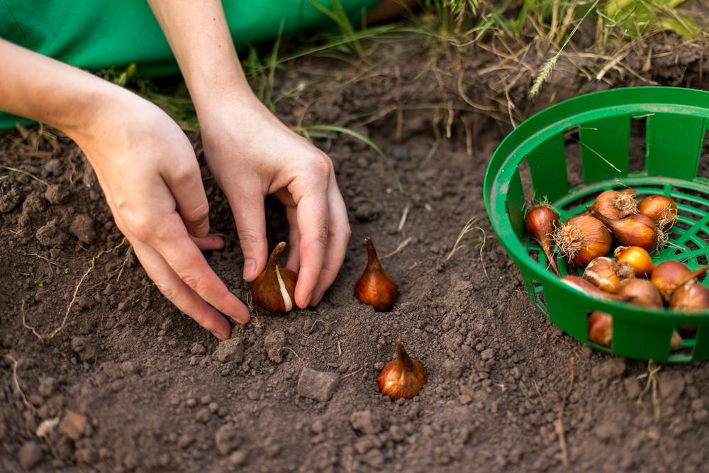 Высаживаем луковичные в грунт