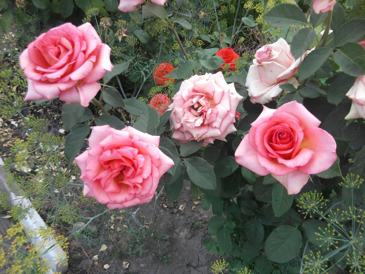 Розовые розы светке соколовой 22 фотография