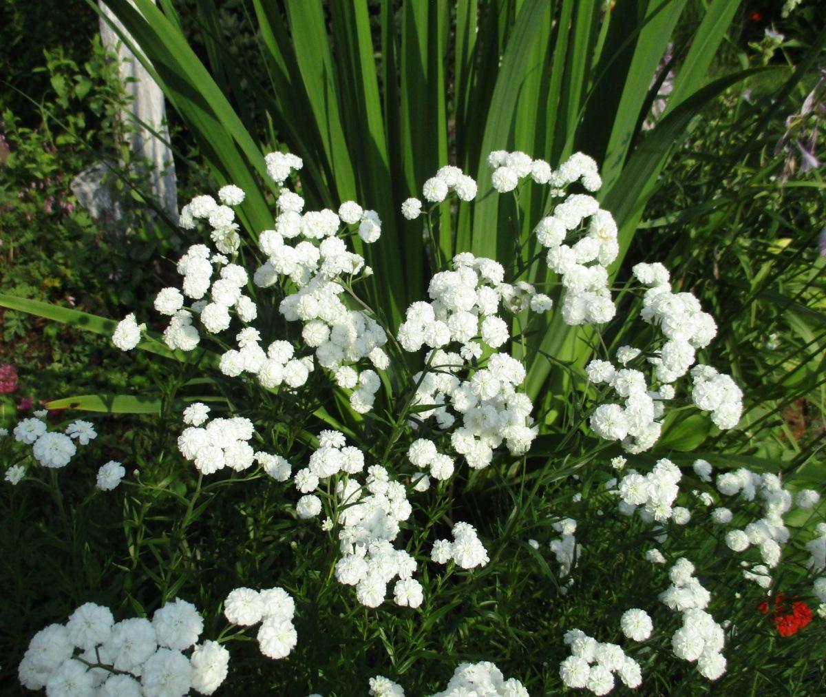 это заболевание, белый жемчуг цветы фото нас