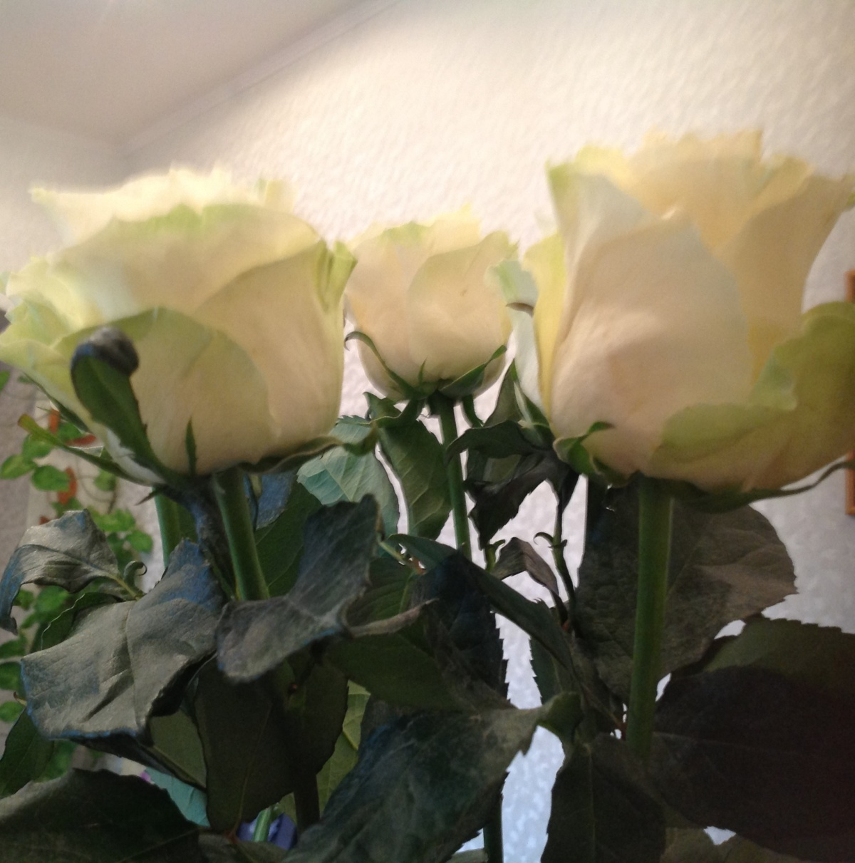 если в розы добавить прикормку для орхидей