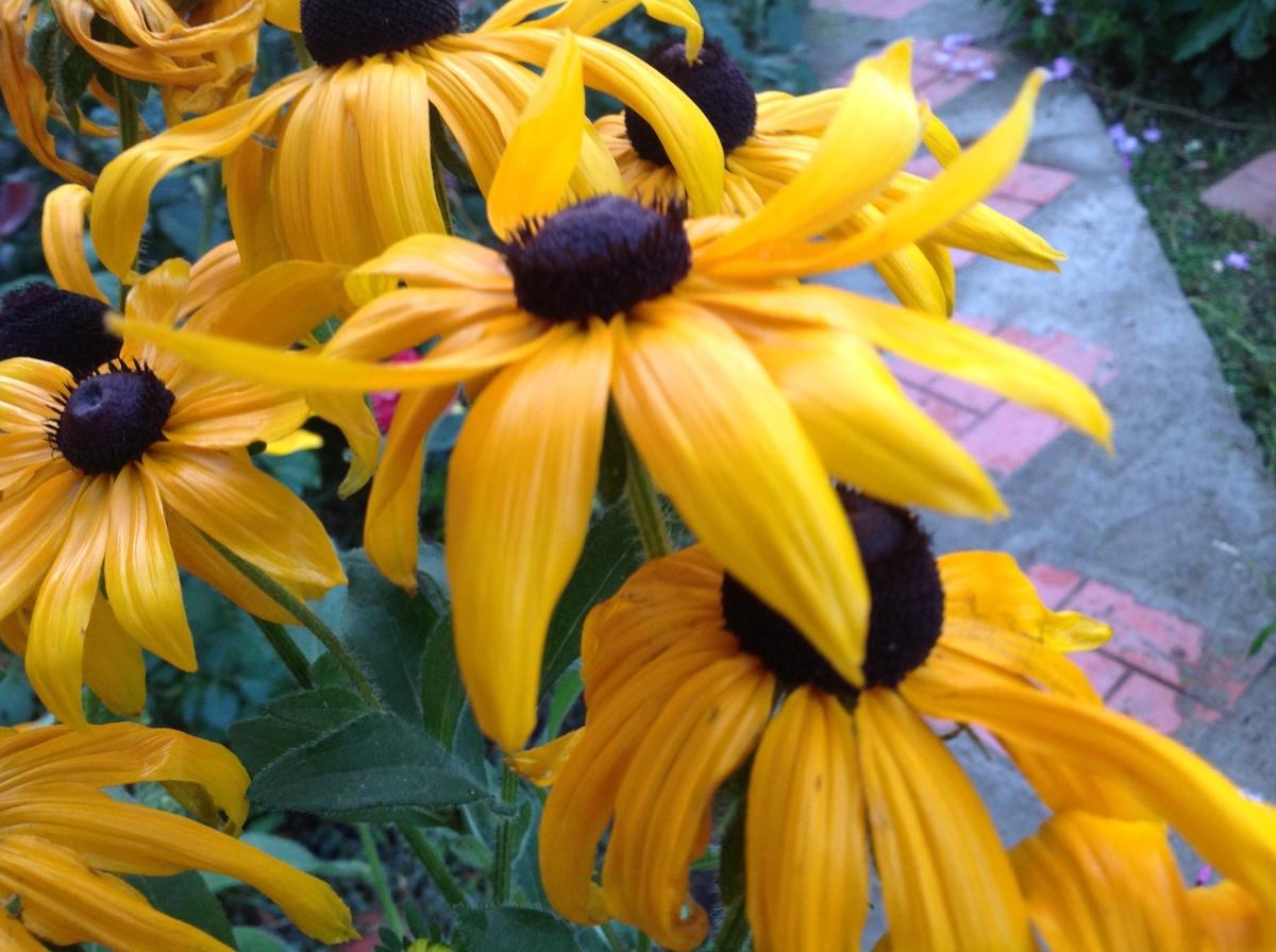 Фото цветка рудбекия мирабилис комплекс