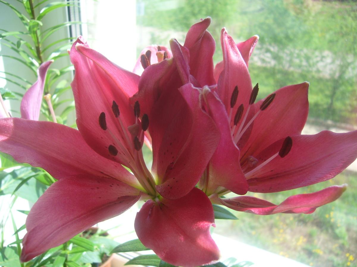 Символ благородства,  Символ красоты,  Уважают лилию  Всей земли цветы!