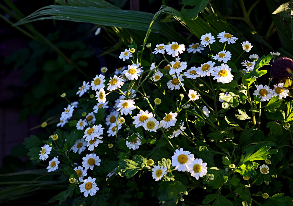 наши матрикария фото цветы шагом, следует перевести