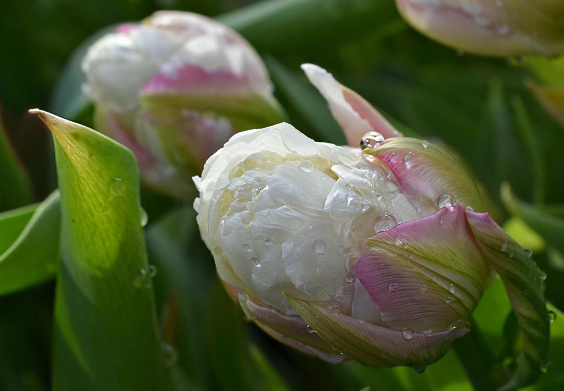 Тюльпан мороженое картинки