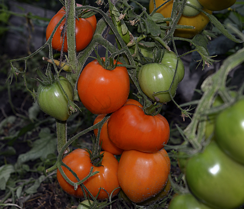 томат сердце америки отзывы фото урожайность