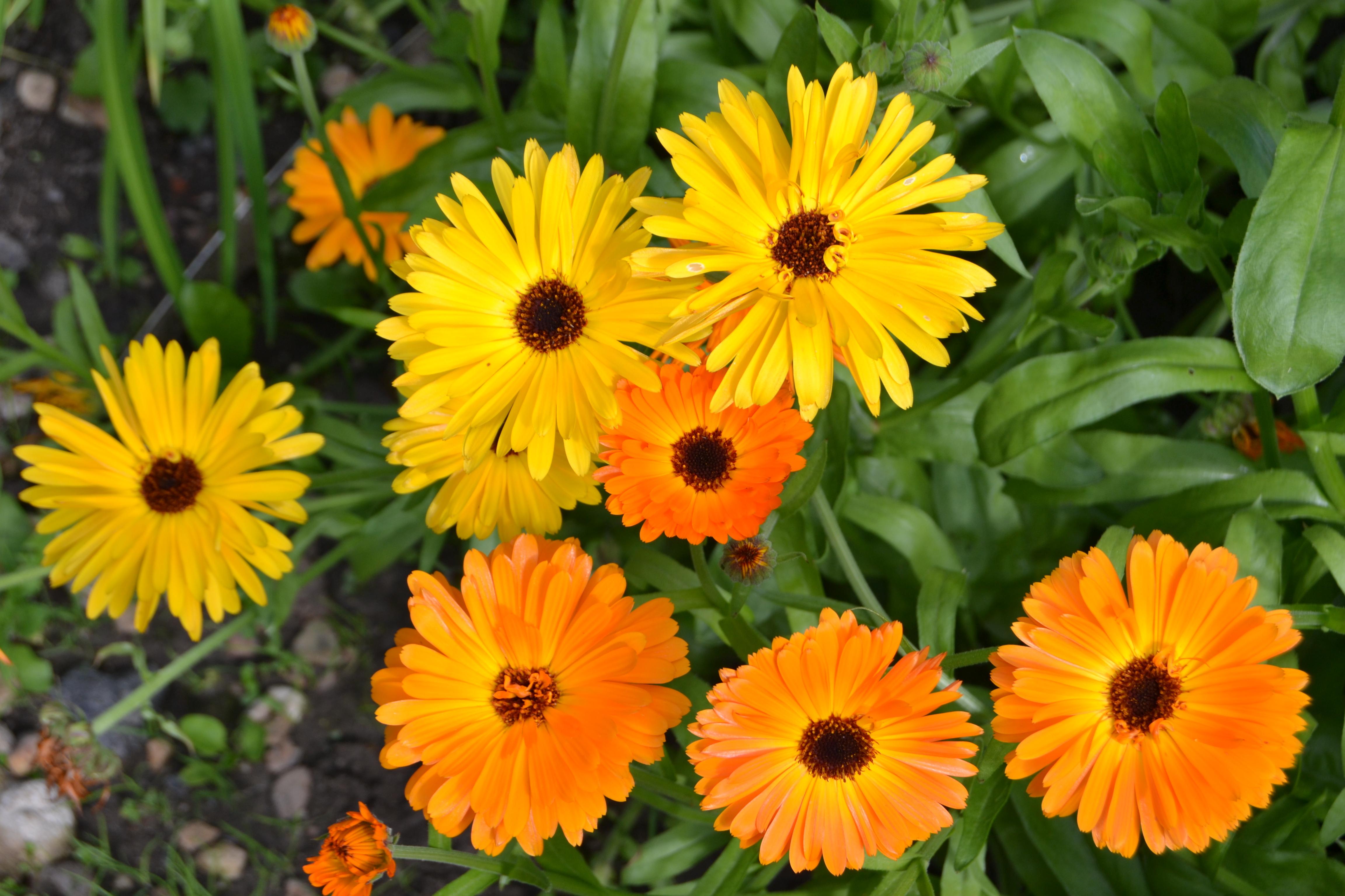 Календула цветы картинки