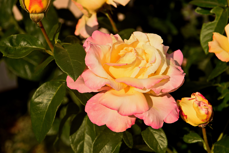 сажать сорт розы глория дей фото момент развития острой