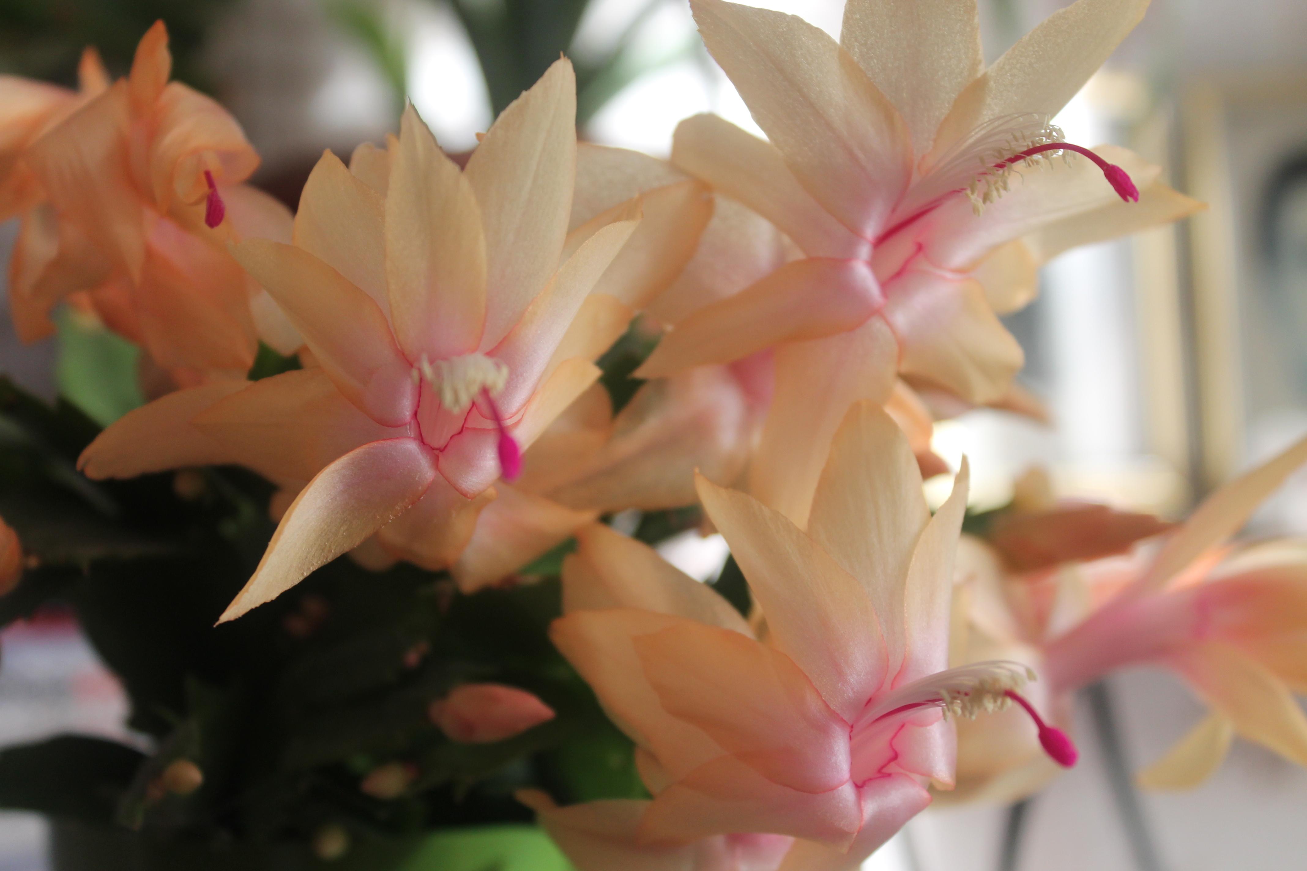пока декабрист цветок сорта фото рождения марти